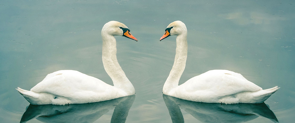 A Couple: Pair of Swans